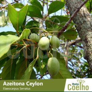 Azeitona Ceylon