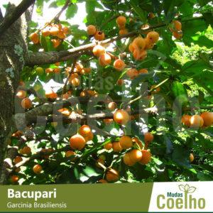 Bacupari