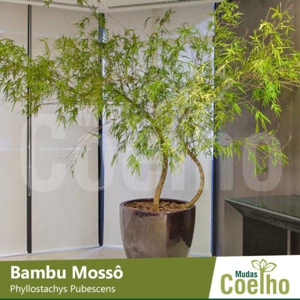 Bambu Mossô