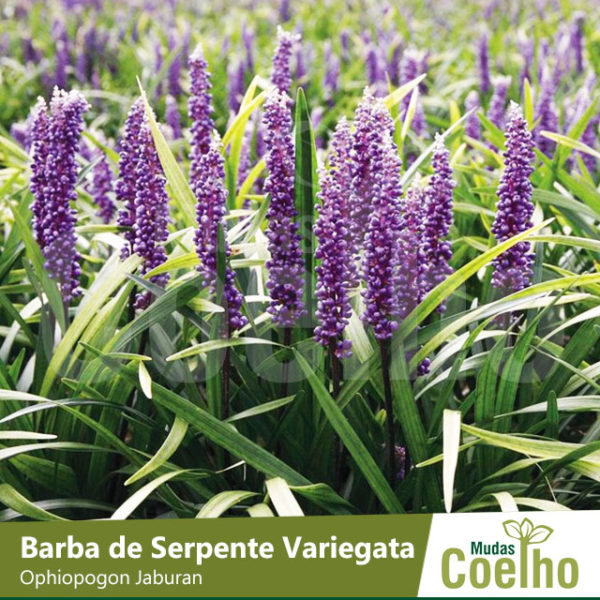 Barba de Serpente Variegata