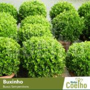 Buxinho