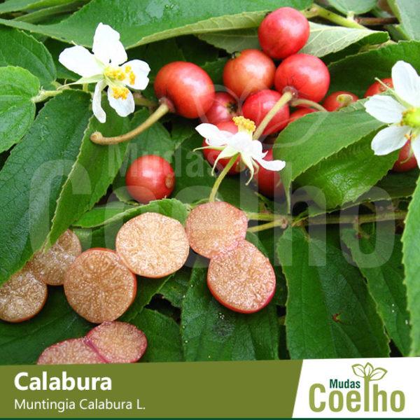 Calabura