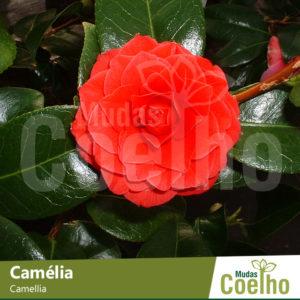 Camélia