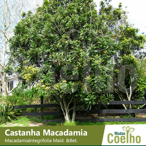 Castanha Macadamia