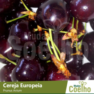 Cereja Europeia