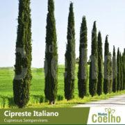 Cipreste Italiano