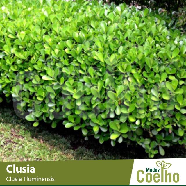 Clusia