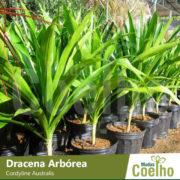 Dracena Arbórea