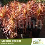 Dracena Tricolor
