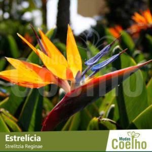 Estrelícia