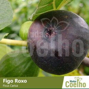 Figo Roxo