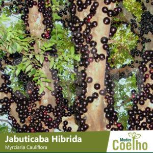 Jabuticaba Hibrida