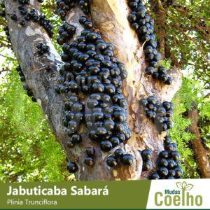 Jabuticaba Sabará