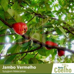Jambo Vermelho