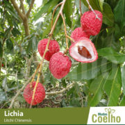 Lichia