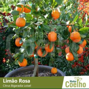 Limão Rosa