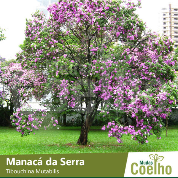 Manacá da Serra