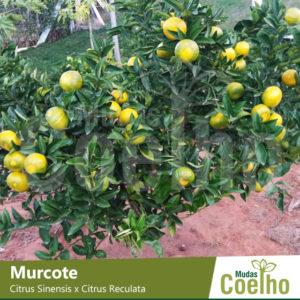 Murcote