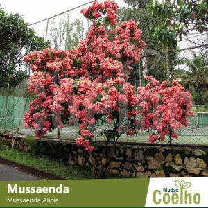 Mussaenda