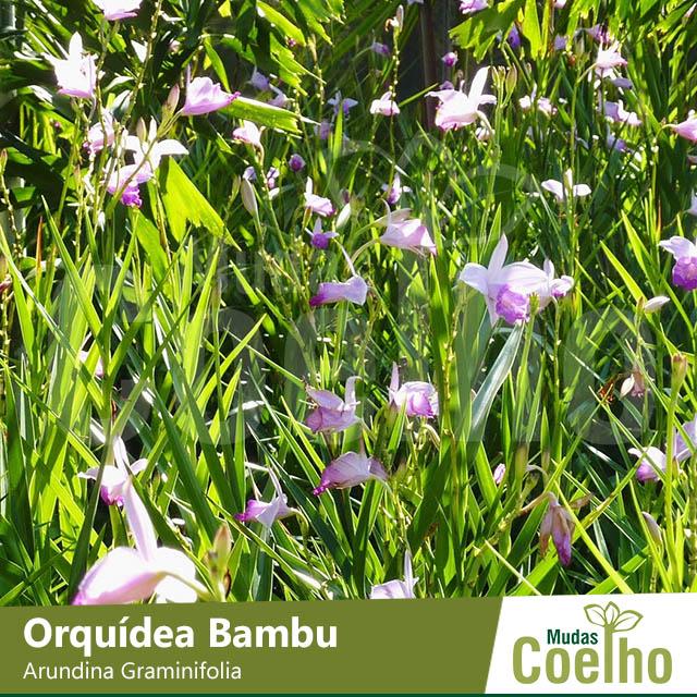 Orquídeo
