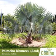 Palmeira Bismarck (Azul)
