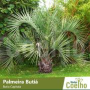 Palmeira Butiá