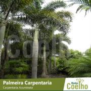 Palmeira Carpentaria