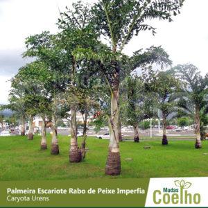 Palmeira Escariote Rabo de Peixe Imperfia