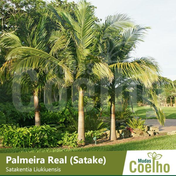 Palmeira Real Satake