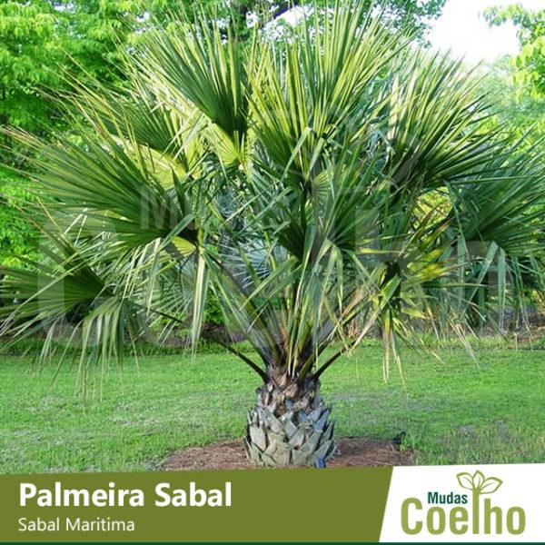 Palmeira Sabal
