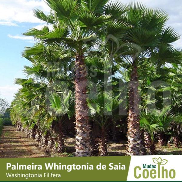 Palmeira Whingtonia de Saia