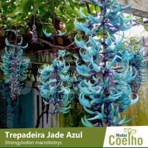 Trepadeira Jade Azul