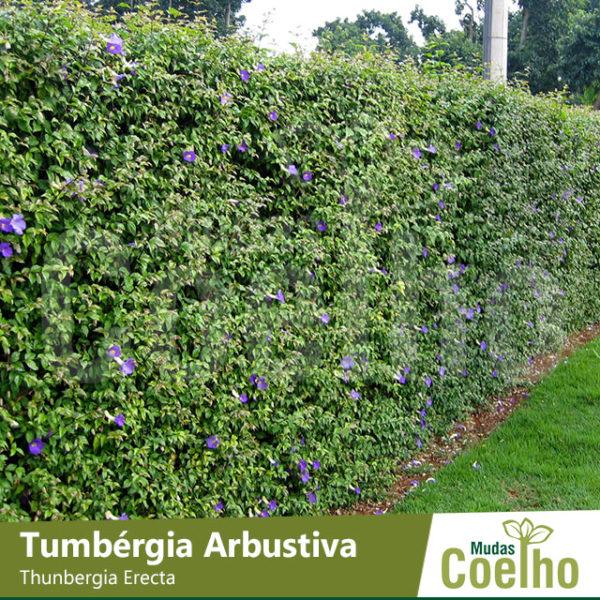 Tumbérgia Arbustiva