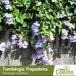 Tumbérgia Trepadeira