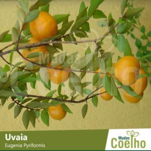 Uvaia